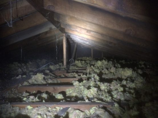 Mold sporesgrowing on the attic rafters and plywood sheeting in a Glenview, IL home.